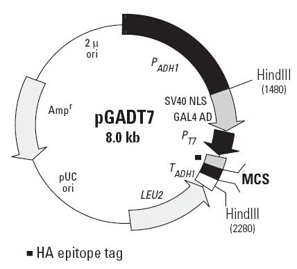 酵母双杂交载体系统pGBKT7载体 pGADT7载体 pCL1载体 pGBKT7-53载体 pGADT7-T载体 pGBKT7-Lam载体 pACT2 AD载体 AH109菌株 pSos载体 pMyr