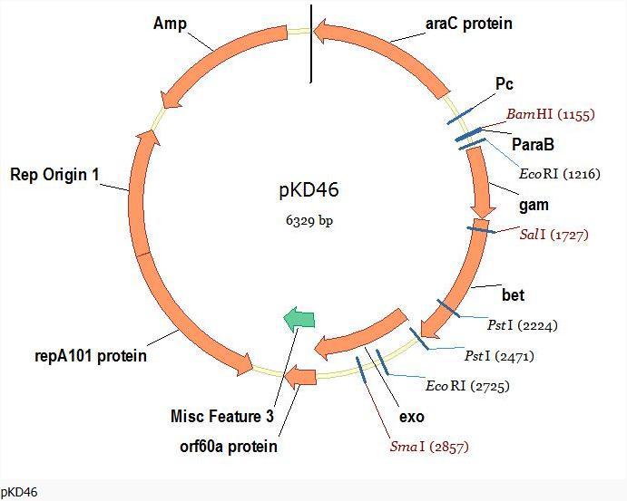 pKD46-大肠杆菌基因敲除试剂盒专用