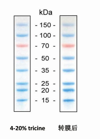 蛋白Marker