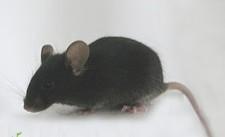 【APP/PS1双转基因小鼠老年痴呆动物模型销售 SPF级合格证书】