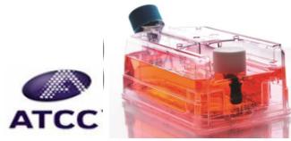 人神经胶质瘤细胞;H4