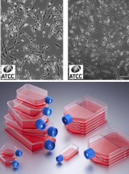 PA317细胞