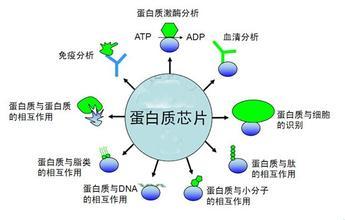芯片类检测:蛋白芯片定制检测服务