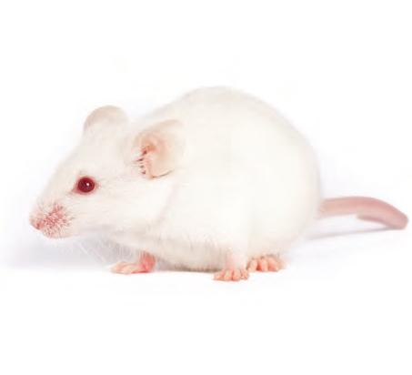 高度免疫缺陷大鼠