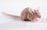 人类疾病小鼠模型
