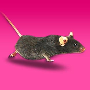 基因敲除小鼠3.68万起