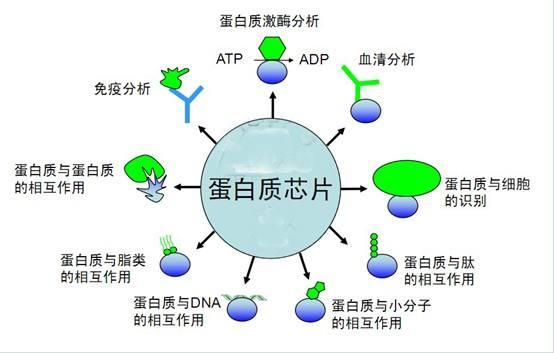 蛋白芯片定制检测服务