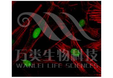 激光共聚焦显微镜检测(LSCM)