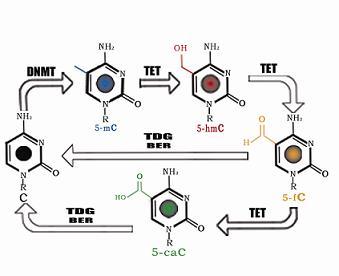 组织乙酰化组蛋白H3染色质免疫共沉淀(ChIP)试剂盒(A-P-2012)