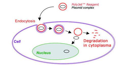 明睿生物向您提供PolyJet™ DNA体外转染试剂