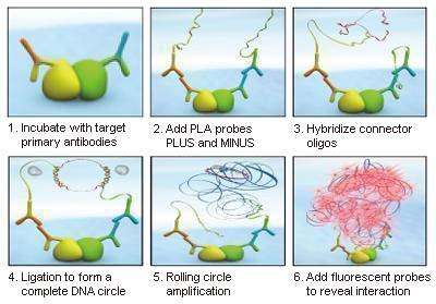 Abnova/AKT1 & CDKN1A Protein Protein Interaction Antibody Pair/1kit/DI0088