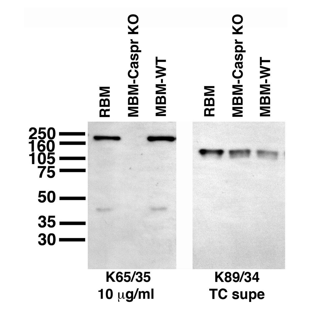 Aves Labs/CASPR/Neurexin IV (7x-001)/Purified (75-001)