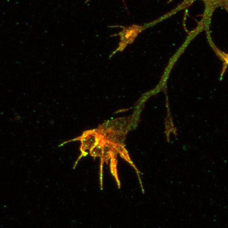 Aves Labs/Anti-Amyloid Precursor Protein, Peptide #4 Antibody (APP4)/APP4