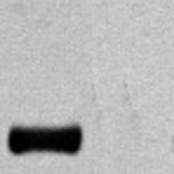 Aves Labs/Anti-HA Epitope Tag Antibody (ET-HA100)/ET-HA100