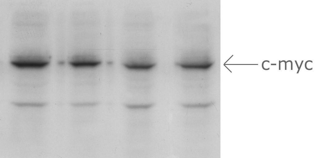Aves Labs/Anti-C-MYC Epitope Tag Antibody (ET-MY100)/ET-MY100
