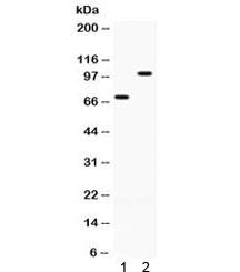 NSJ/ZP1 Antibody (R32398)/ R32398/ 100 ug