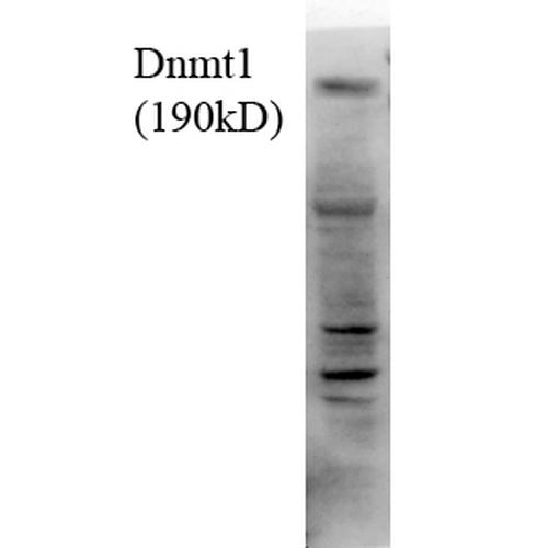 StressMarq/Anti-DNMT1 Antibody [4G11-C7]/SMC-201D-FITC/100-µg
