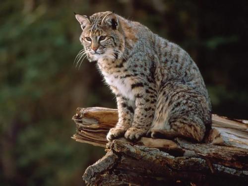 新研究提供了对高加索山猫的遗传和行为的见解
