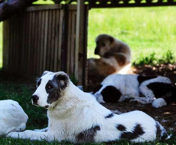 基因发现可以消除狗皮肤中严重的水疱病