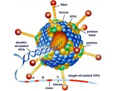 过表达miRNA慢病毒