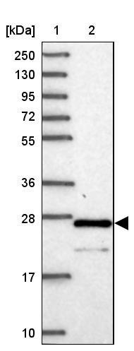 cGMP检测试剂盒