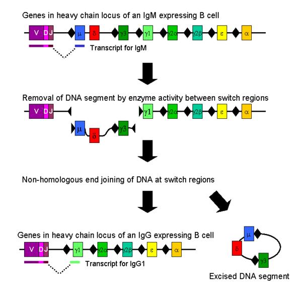 重组人乳腺癌易感基因1