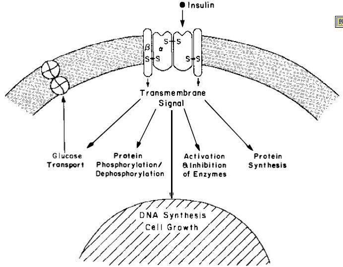 PeproTech(BioGems)重组人转铁蛋白 1g