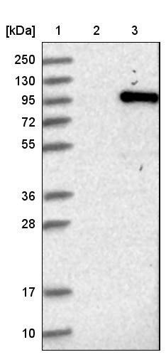 HeLaScribe® Nuclear Extract Positive Control DNA