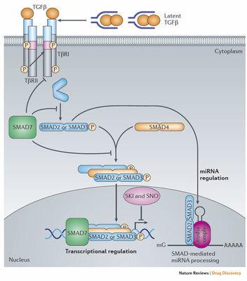 Anti-ZNF743抗体
