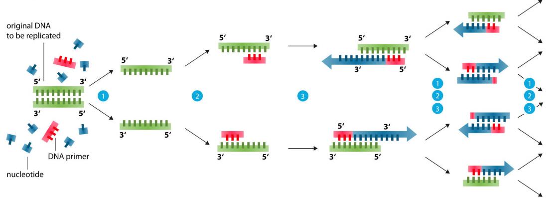 人亚甲基四氢叶酸还原酶基因C677T突变PCR测定试剂盒