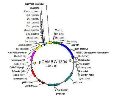 PU.1 luciferase reporter plasmid 荧光素酶报告基因(报告基因质粒)