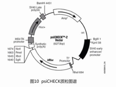 Oct4 luciferase reporter plasmid 荧光素酶报告基因(报告基因质粒)