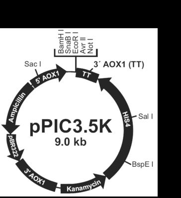 INVSc1载体酵母表达载体系统