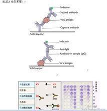 Anti-PMS1抗体