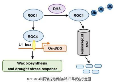 Anti-RBM35A/ESRP1抗体