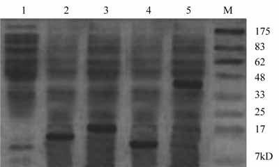 金黄色葡萄球菌蛋白A SPA