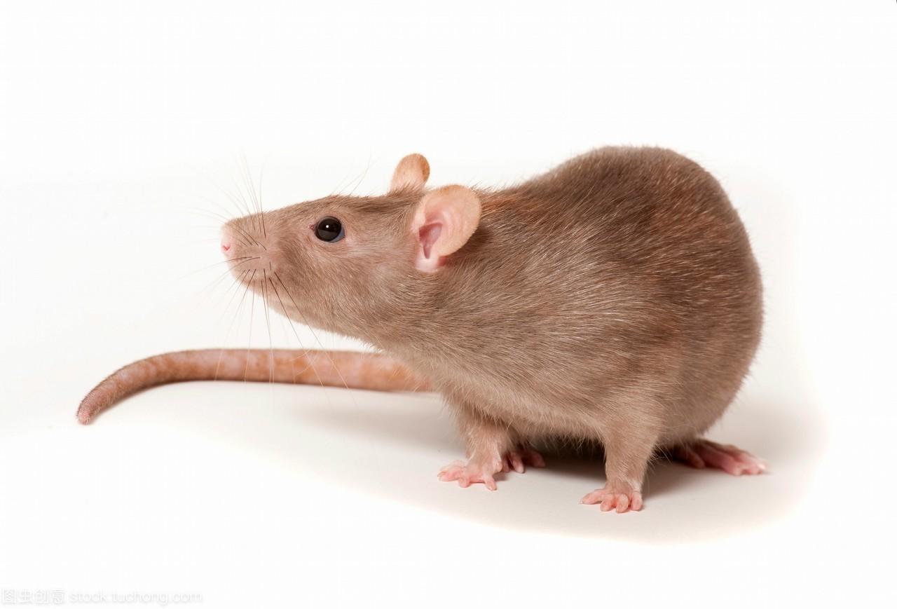 大鼠骨成型蛋白-2(rat BMP-2)