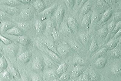 单脱氢抗坏血酸还原酶测定试剂盒 UV板 微量法