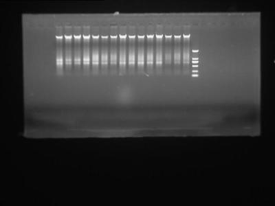 人少突胶质细胞前体细胞基因组DNA