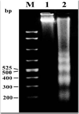 人牙周膜成纤维细胞基因组DNA