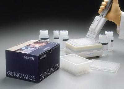 人牙龈成纤维细胞基因组DNA