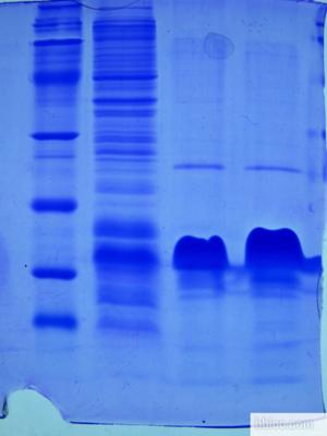 重组蛋白A/G预装柱/填料(技术指标:每毫升rProtein A/G结合35~50mg人血清IgG,38-51mg兔IgG /ml填料,5.5-18.5mg鼠血清IgG/ml填