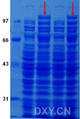 Separopore 溴化*活化亲和层析凝胶4B CNBr-activated Sepharose 4B(20182017-1)