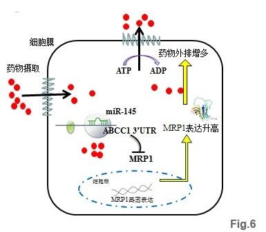 人眼虹膜色素上皮细胞MicroRNA
