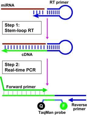 人视网膜色素上皮细胞MicroRNA