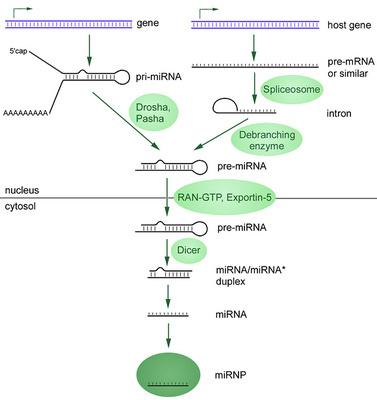 人脾脏内皮细胞MicroRNA