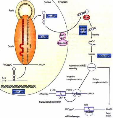 人膀胱平滑肌细胞MicroRNA