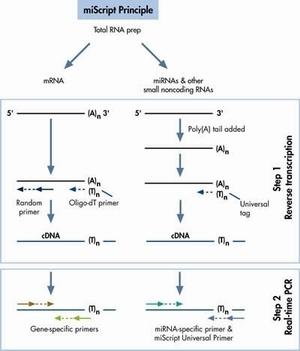 人肾皮质上皮细胞MicroRNA