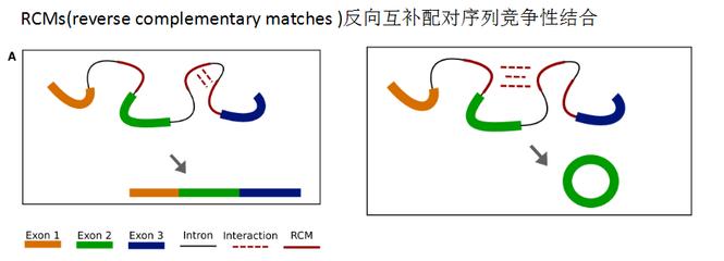 人肠道平滑肌细胞MicroRNA