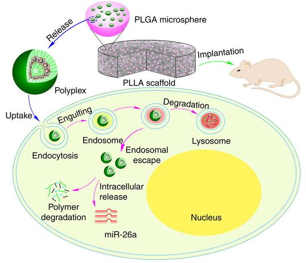 人食管平滑肌细胞MicroRNA